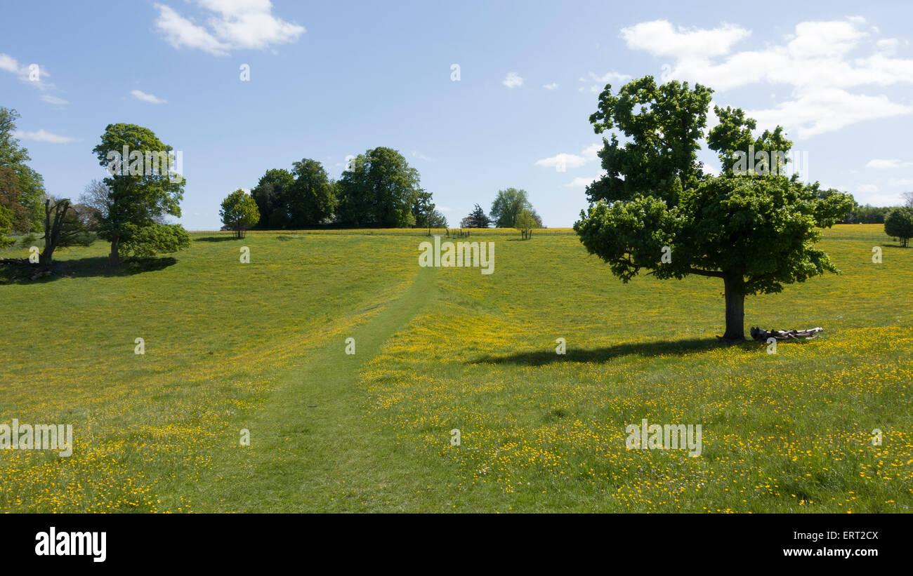 Path Through Buttercups at Basildon Park -1 - Stock Image