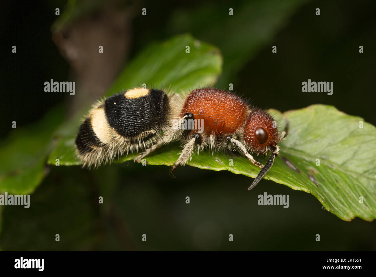 The Mutillidae are a family of more than 3,000 species of wasps whose wingless females resemble large, hairy ants. - Stock Image