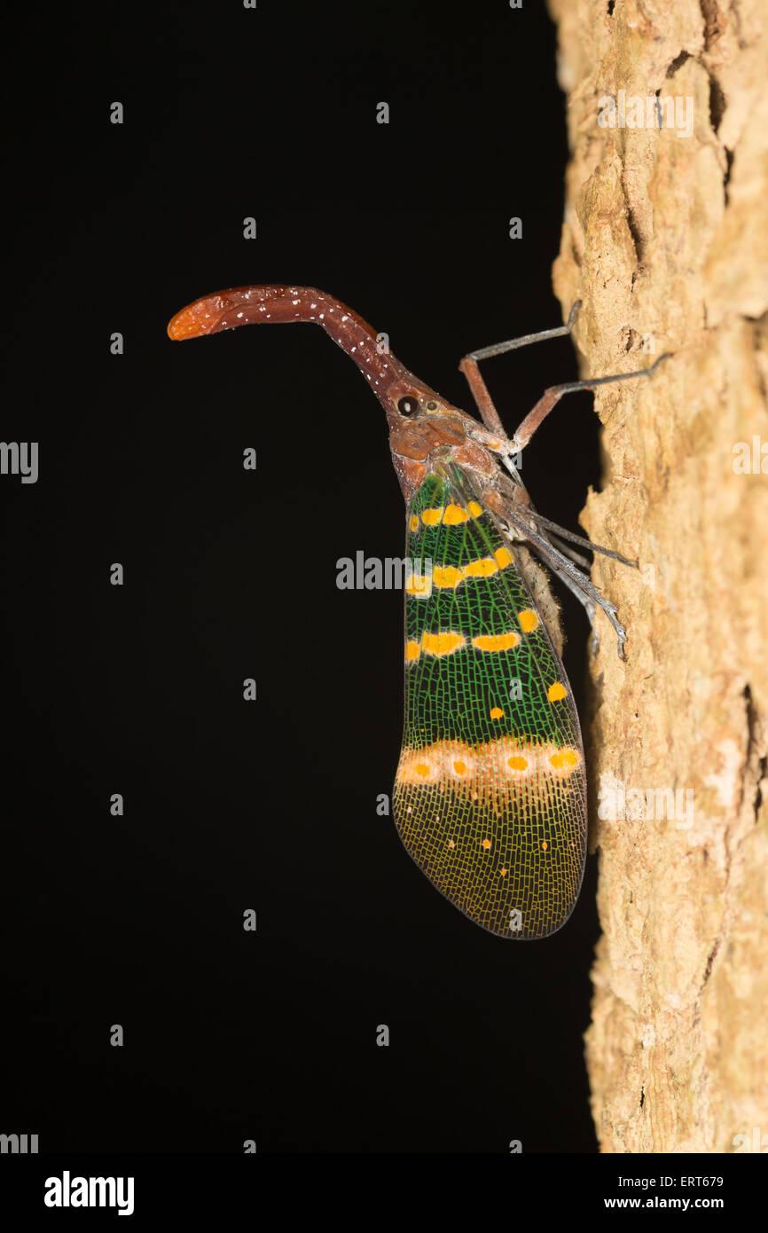 Pyrops karenia, lantern bug - Stock Image