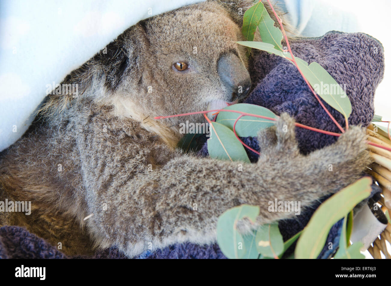 A young rescued female koala eating gum leaves, Phasocolarctus cinerus - Stock Image