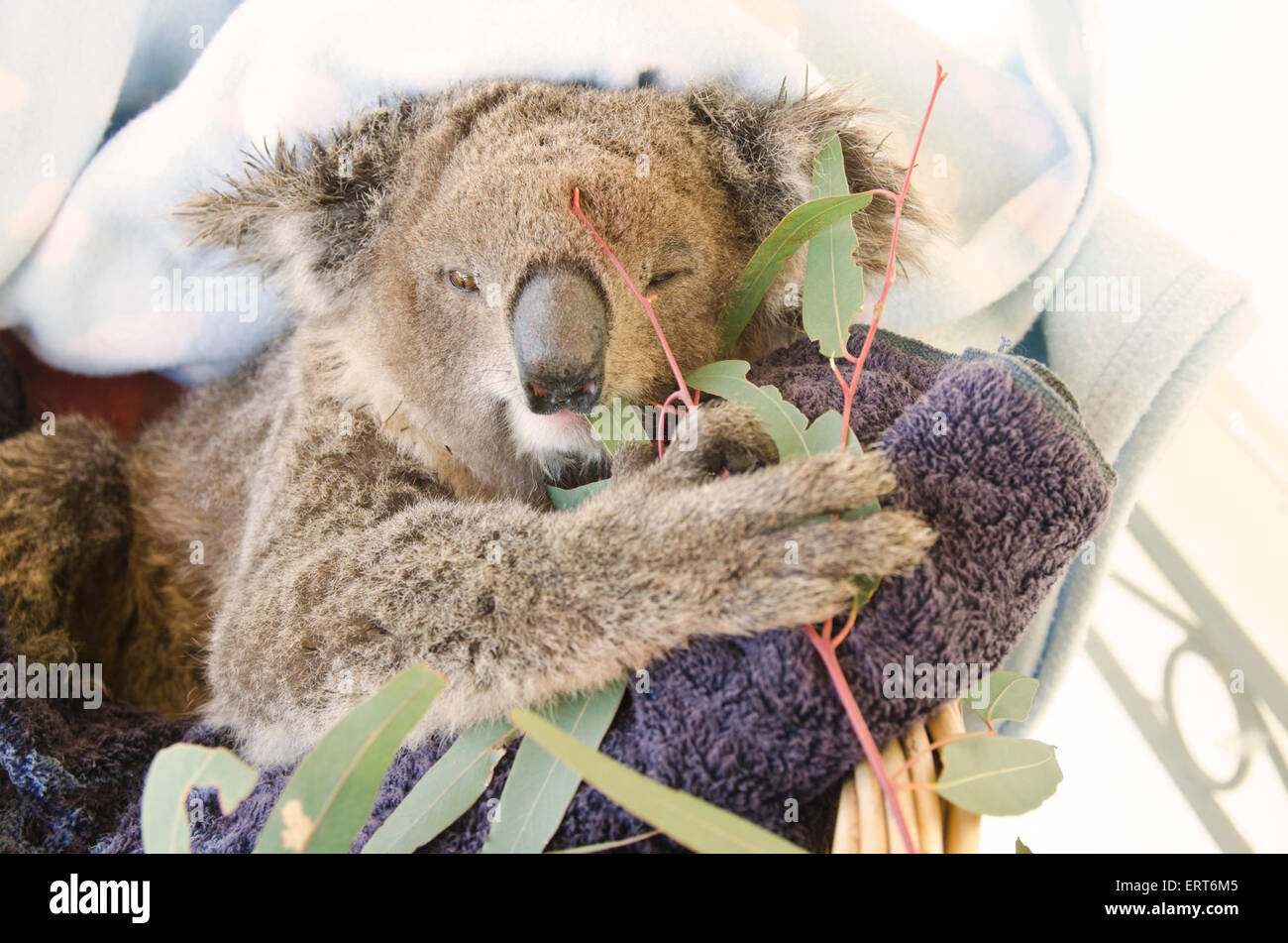 A young rescued female koala eating gum leaves. Phasocolarctus cinerus - Stock Image