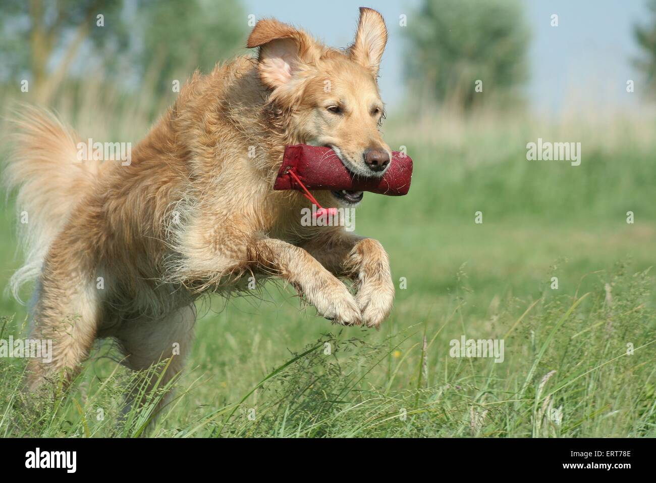 Golden Retriever retrieves Dummy - Stock Image