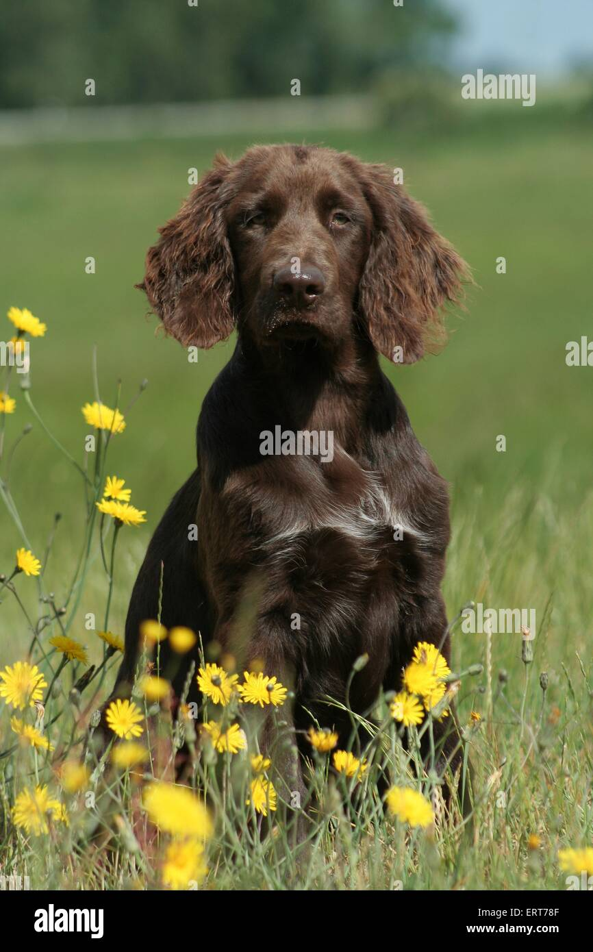 German Longhaired Pointer - Stock Image