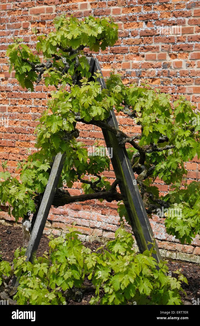 Outdoor Grape Vine Support In Walled Garden Norfolk England