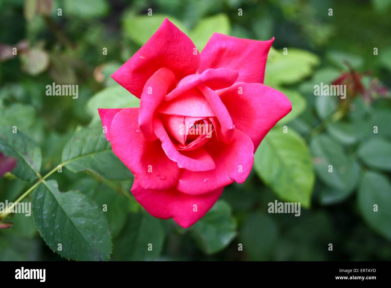 Beautiful, romantic rose flower - Rosaceae - Stock Image