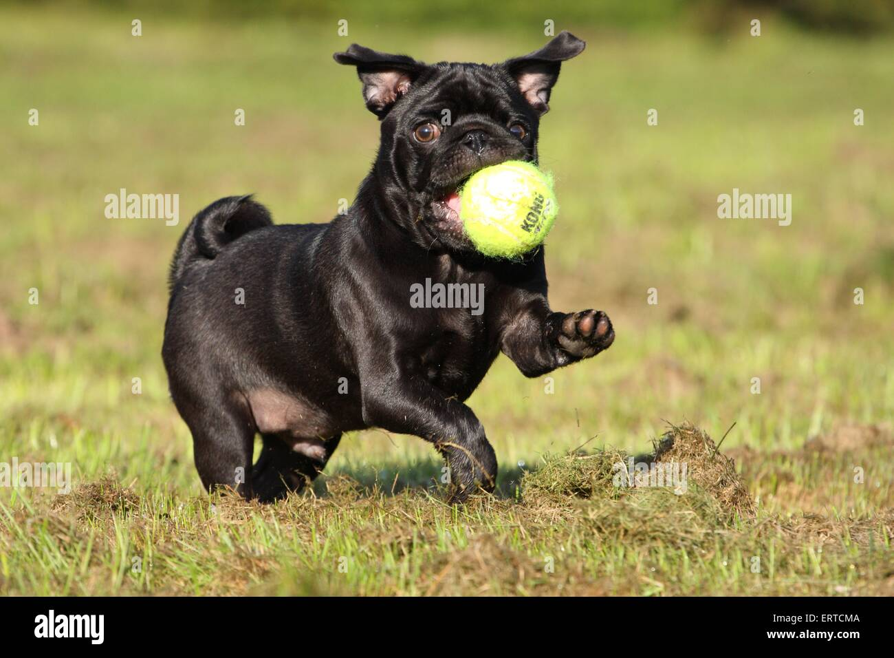 playing pug - Stock Image