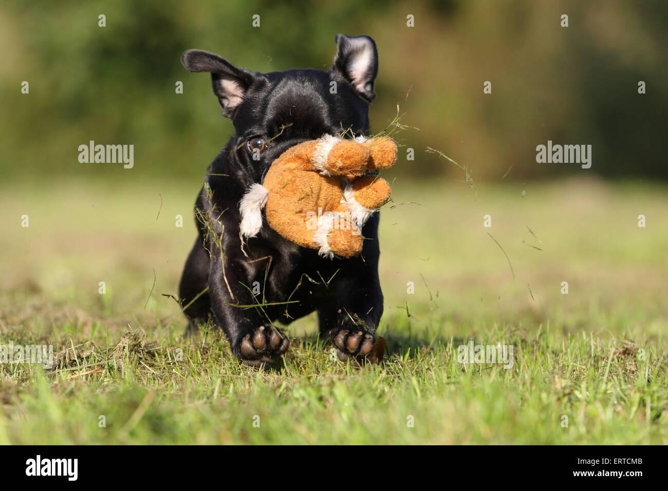 playing pug - Stock Image