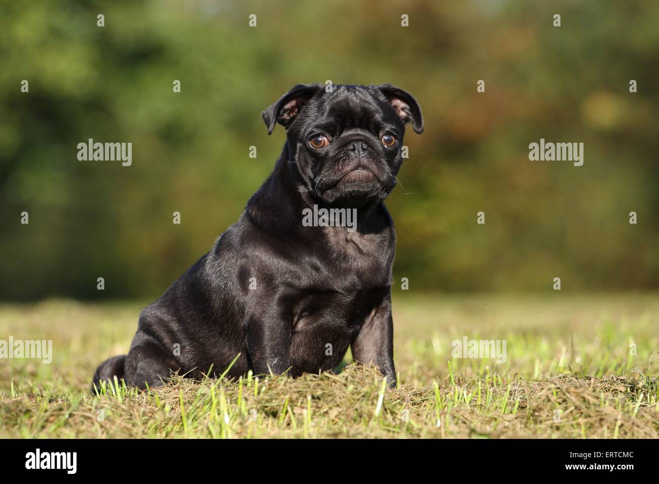 sitting pug - Stock Image