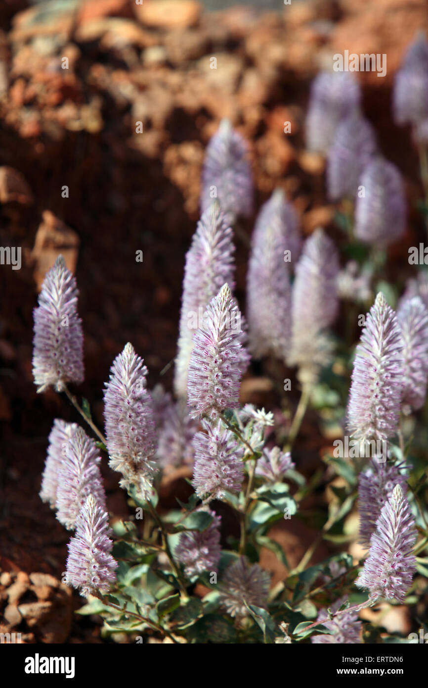 Pink Mulla-Mulla or showy foxtail. Flinders Ranges, South Australia. - Stock Image