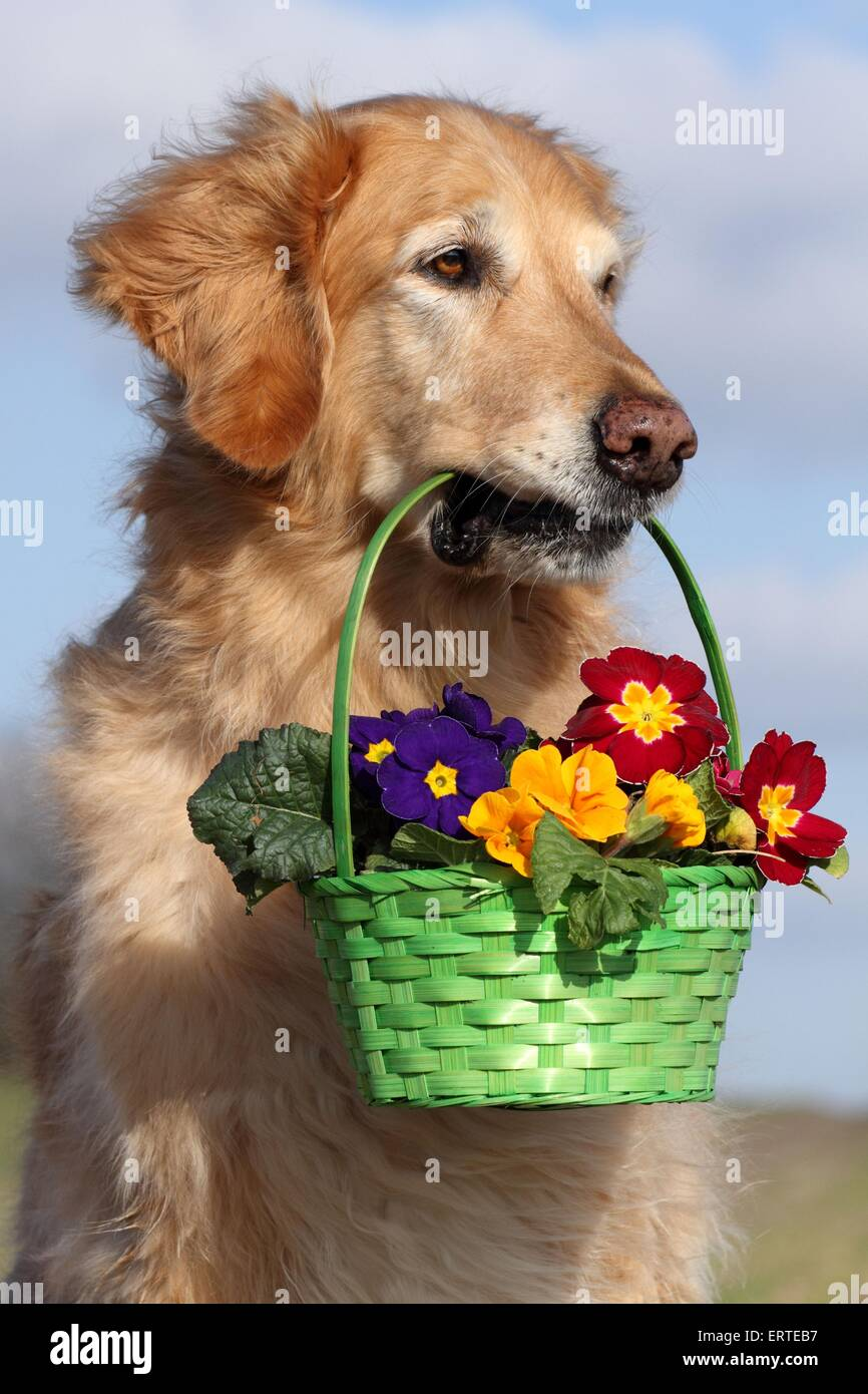 Golden Retriever retrieves flowers - Stock Image