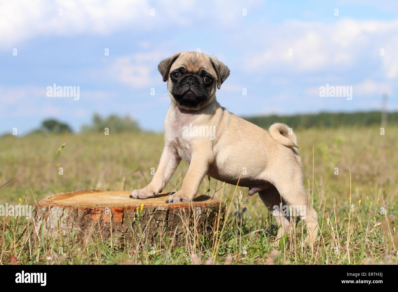 pug puppy - Stock Image