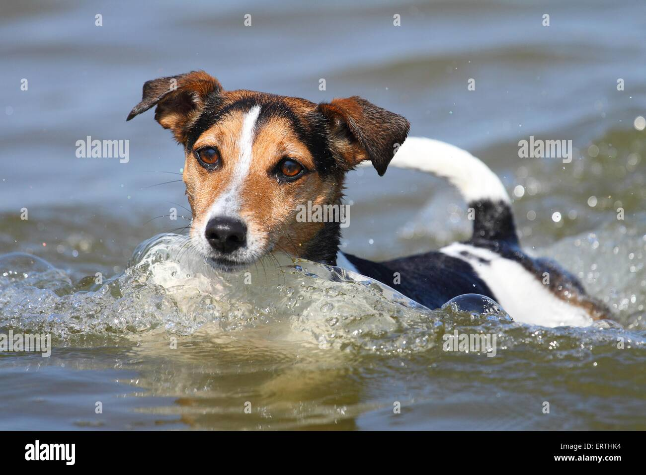 swimming Jack-Russell-Mongrel - Stock Image