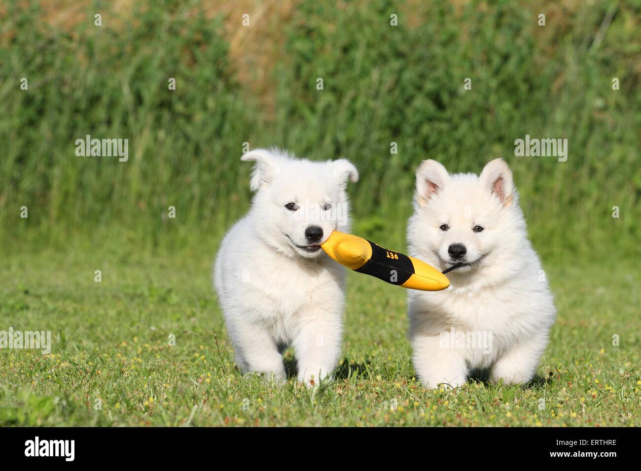 Berger Blanc Suisse Puppies Stock Photo 83519394 Alamy