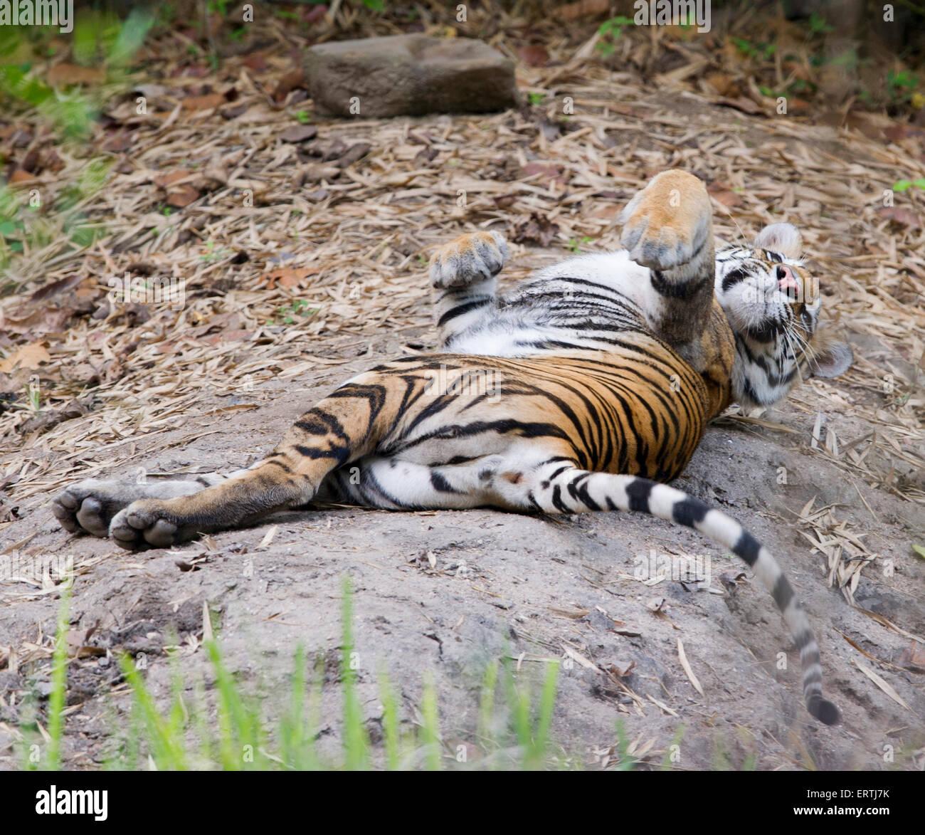 Bengal Tiger Cub  (Panthera tigris tigris) Stock Photo