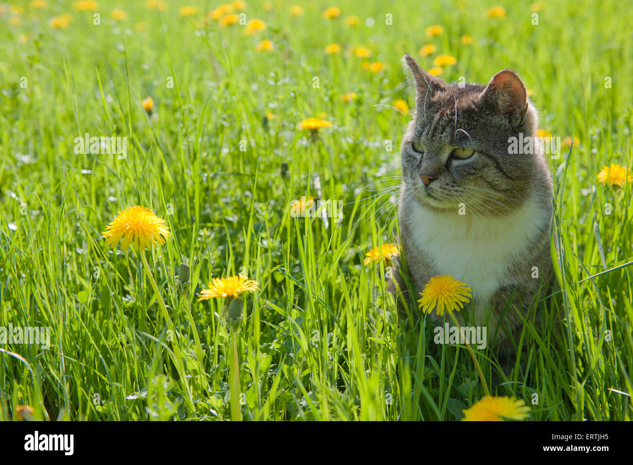 (Felis silvestris catus) Cat sitting in a meadow with dandelion - Stock Image