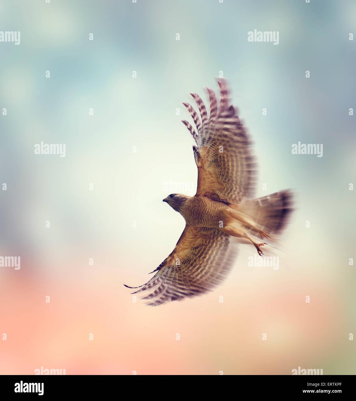 Red Shouldered Hawk In Flight - Stock Image