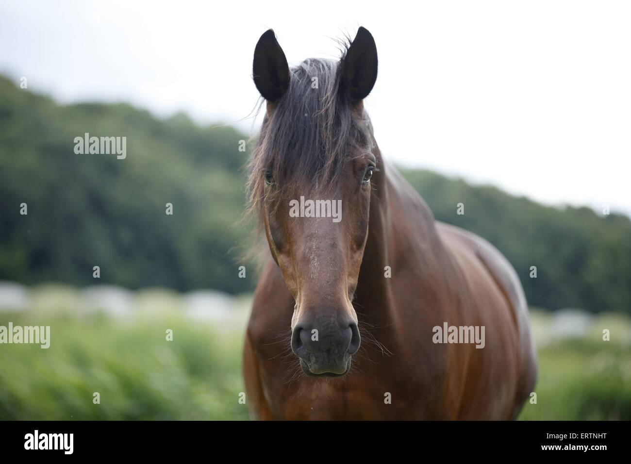 english thoroughbred portrait - Stock Image