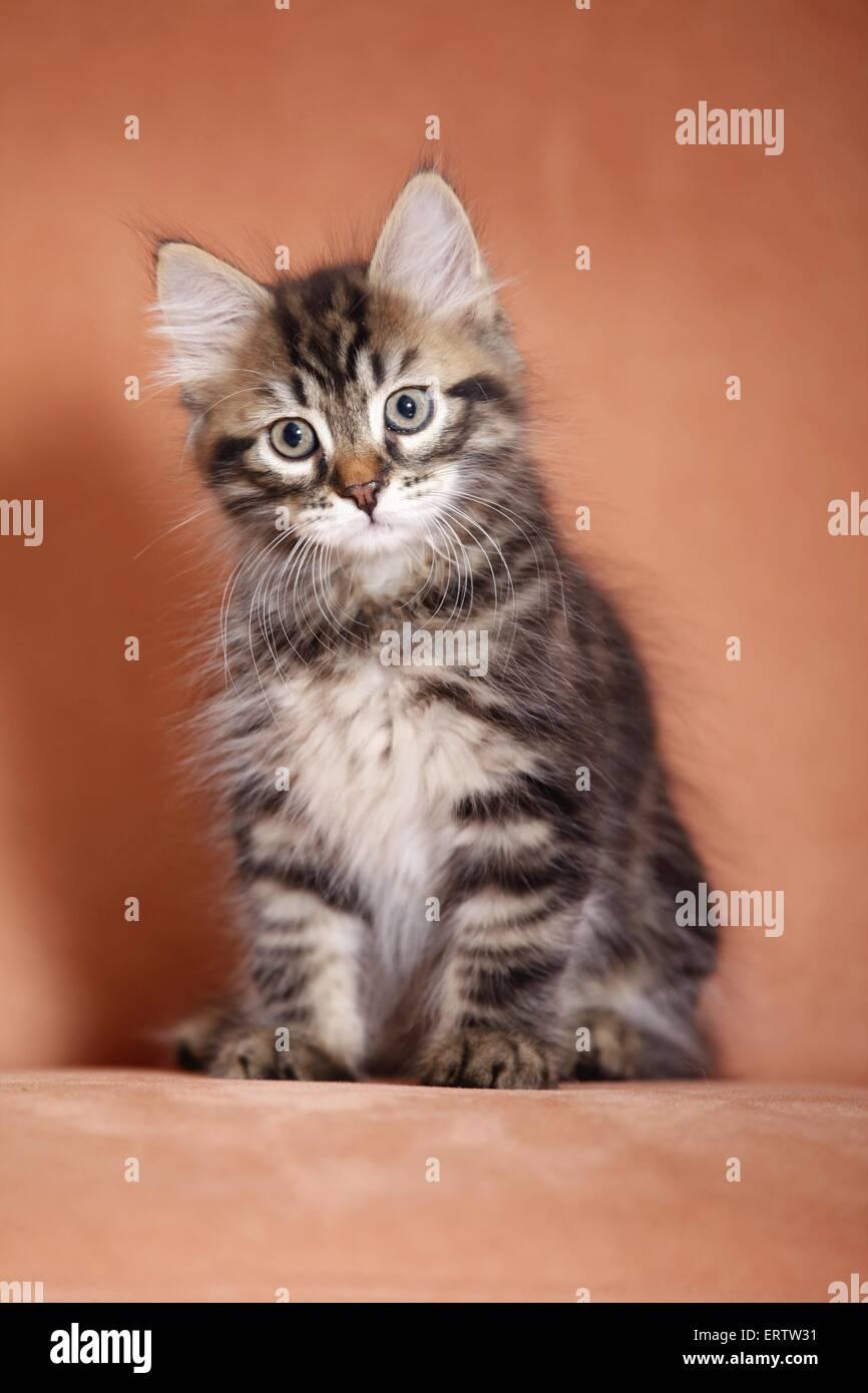 sitting Siberian Forest Kitten Stock Photo