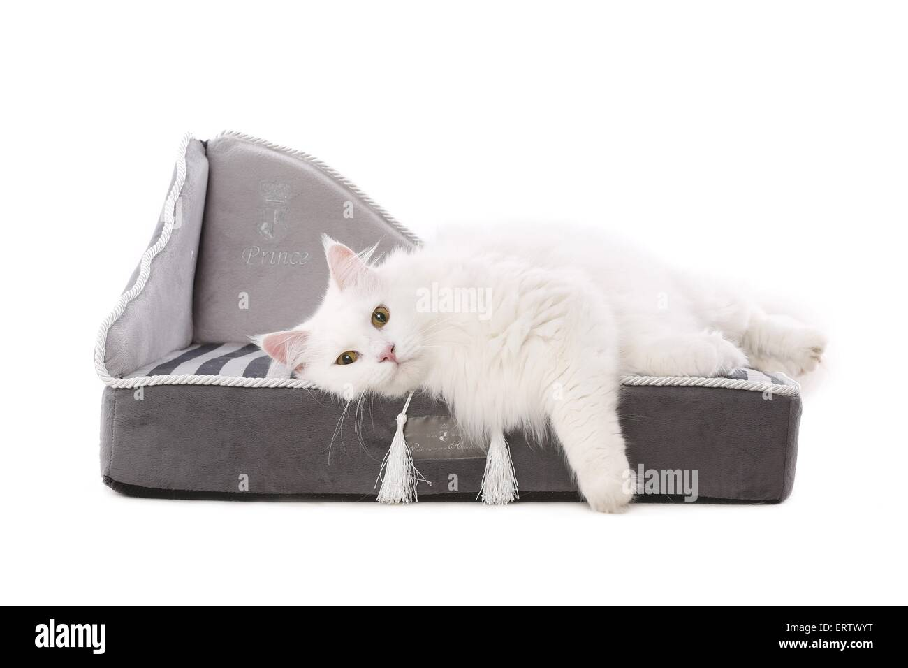 siberian forest cat Stock Photo