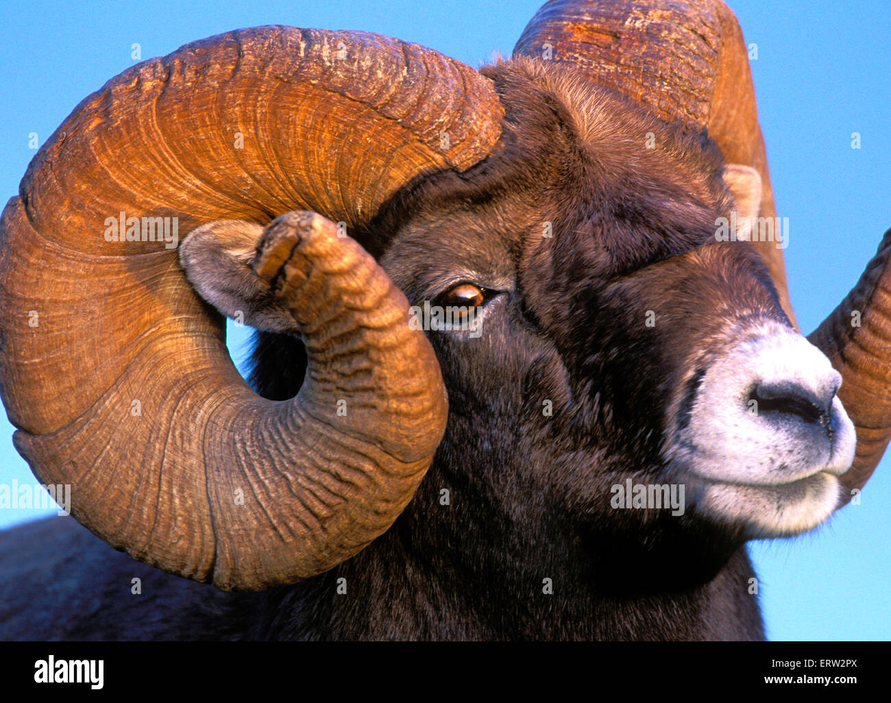 Portrait of Bighorn Ram, full curl, portrait closeup - Stock Image
