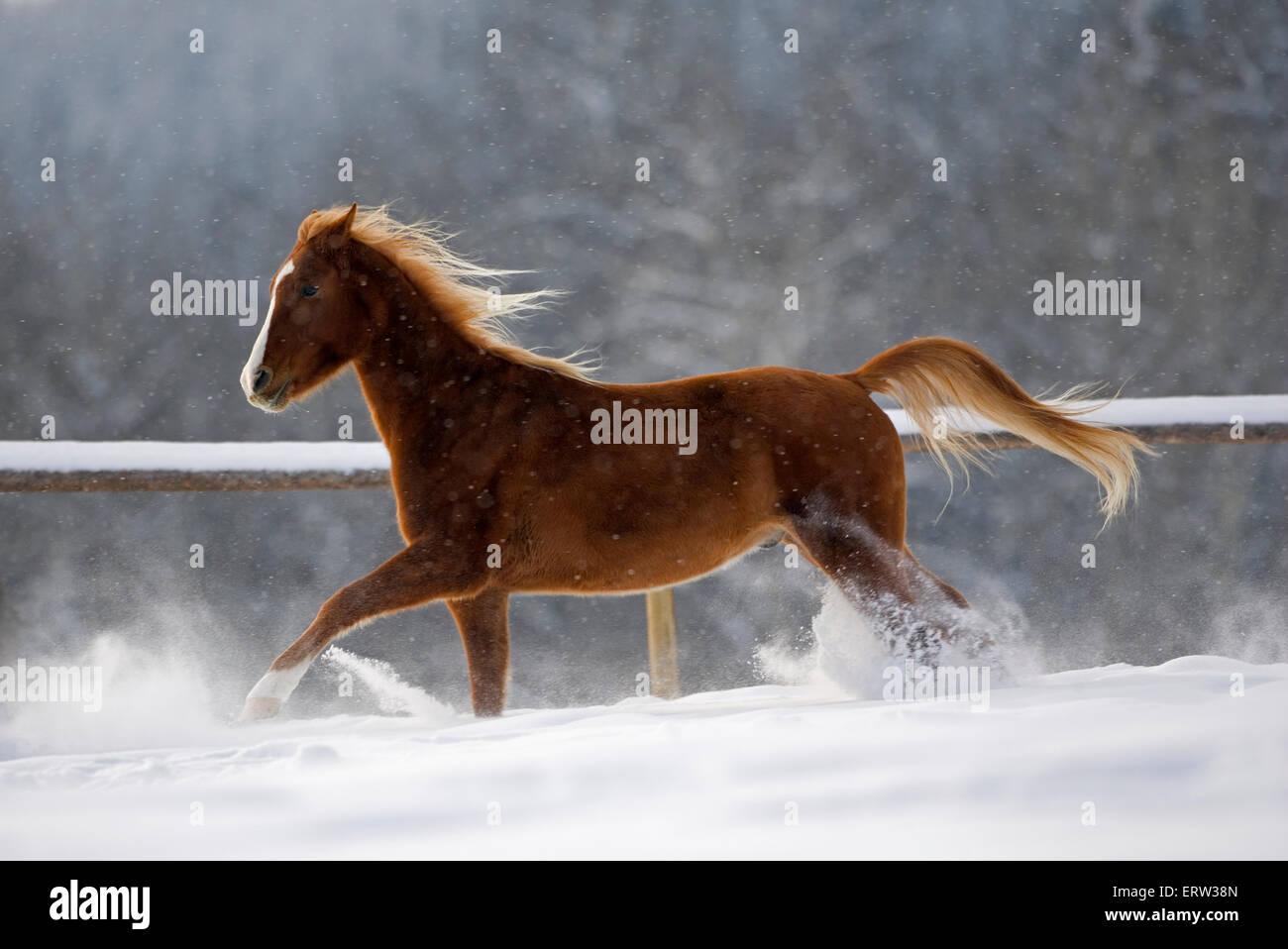 Arabian Horse trotting in snow at winter pasture - Stock Image