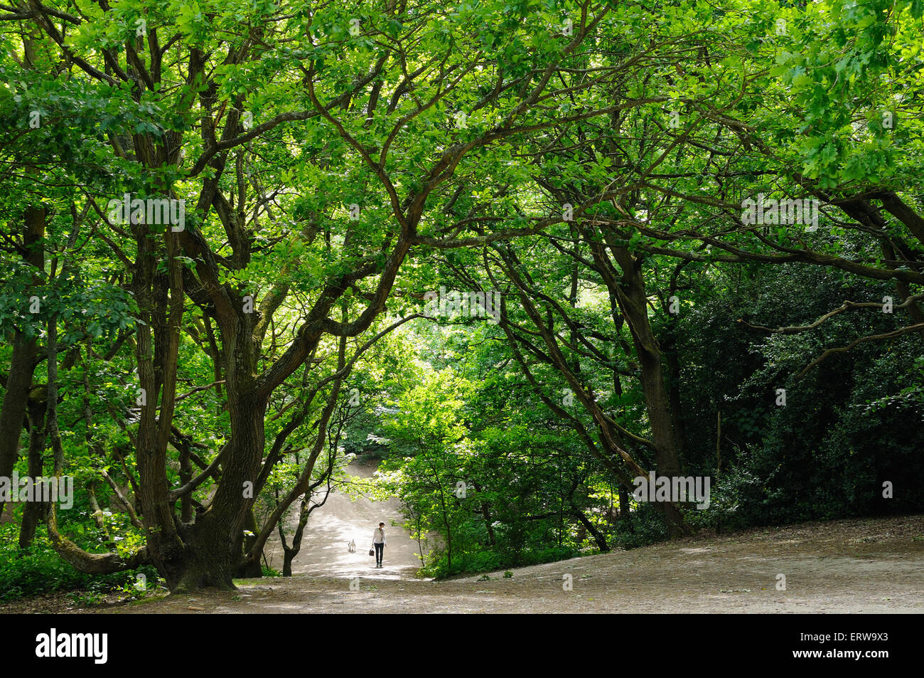 Woods and lone walker at Hampstead Heath, London UK - Stock Image