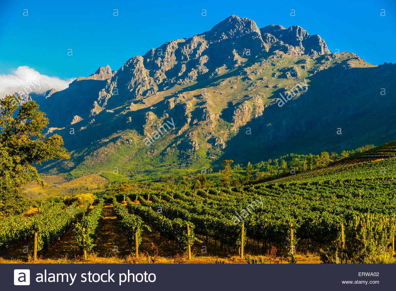 Oldenburg Vineyards, Banghoek Valley, Stellenbosch, Cape Winelands, South Africa. - Stock Image