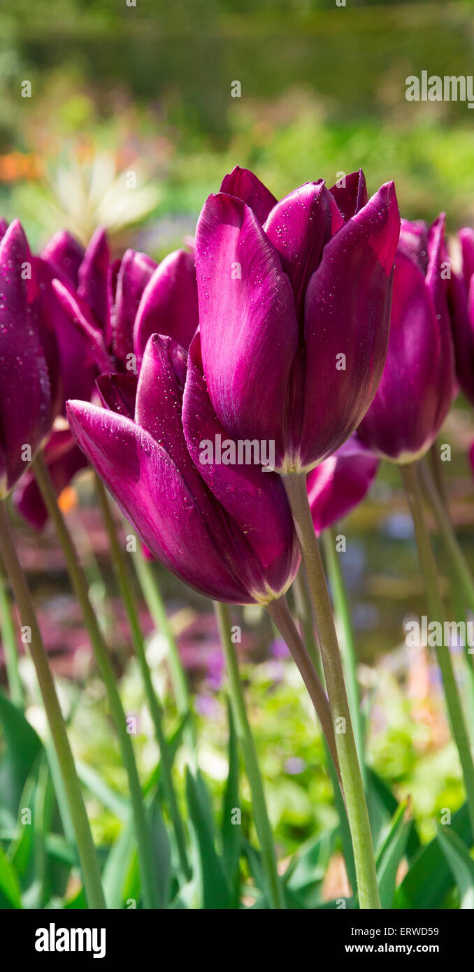 closeup of dark purple tulips with water droplets stock photo