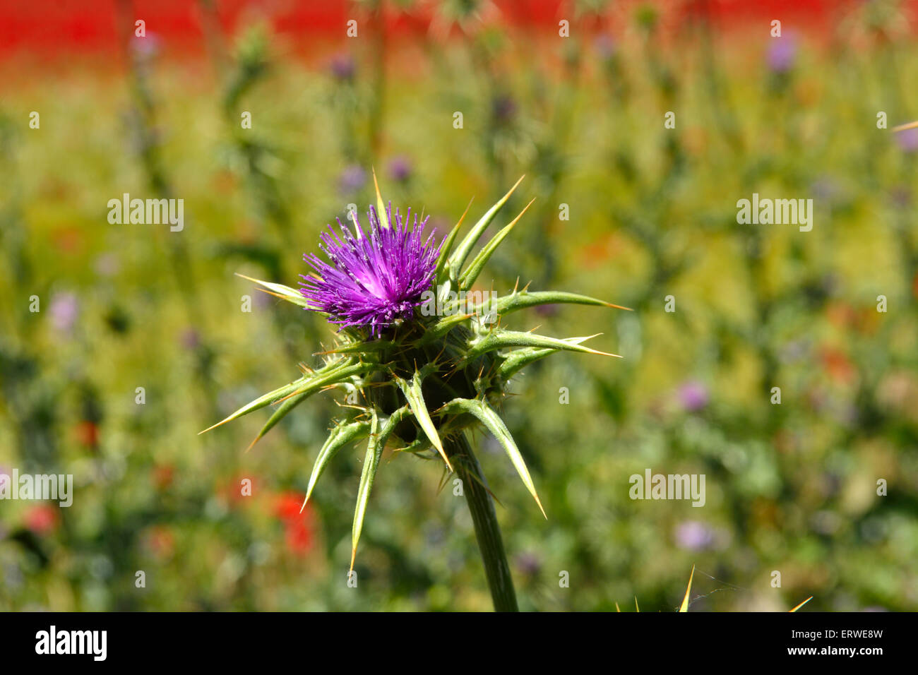 Milk thistle Silybum marianum flower in bloom - Stock Image