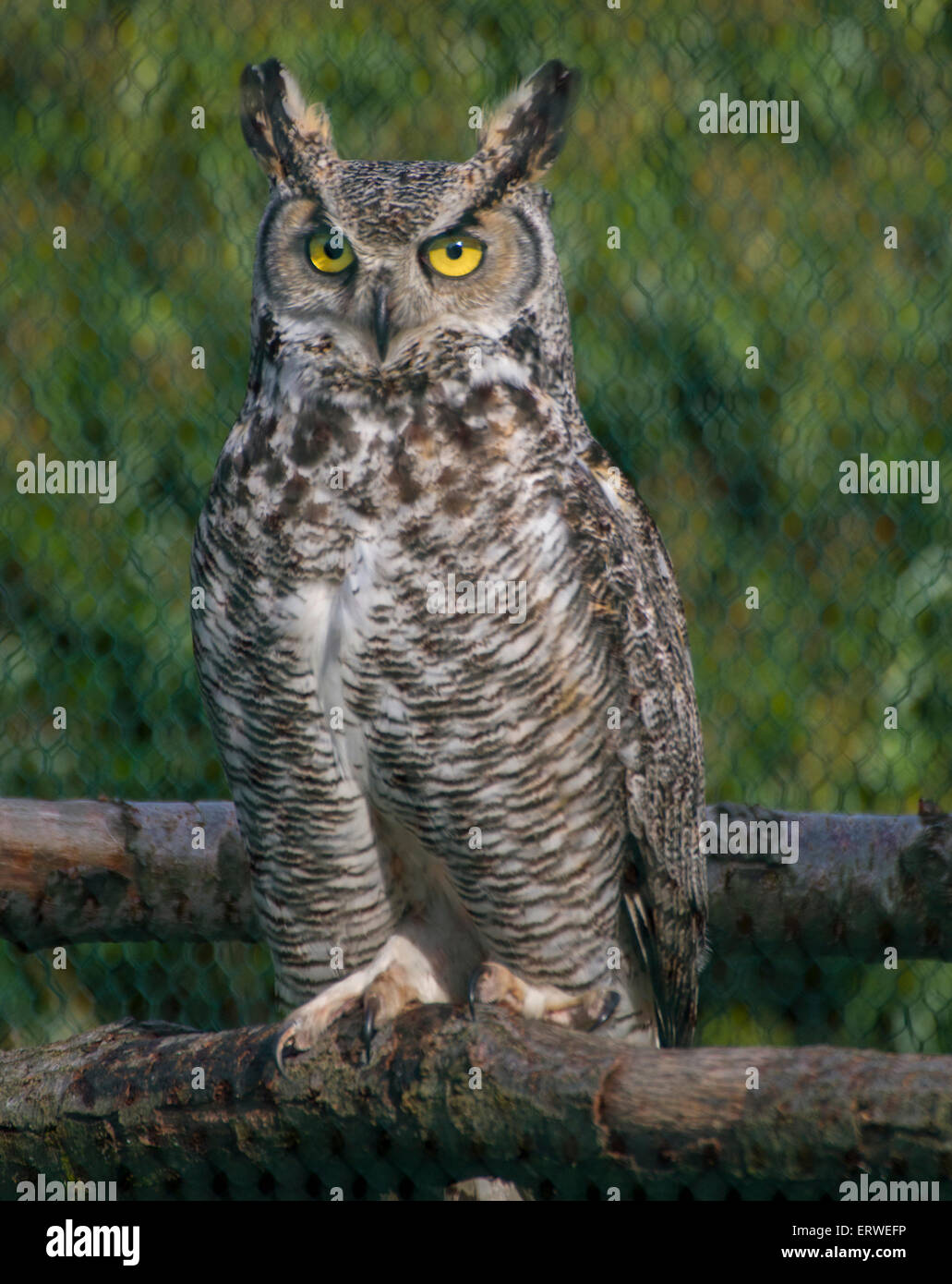 eagle owl with large ears and piercing green eye with sharp claws on log in cage - Stock Image