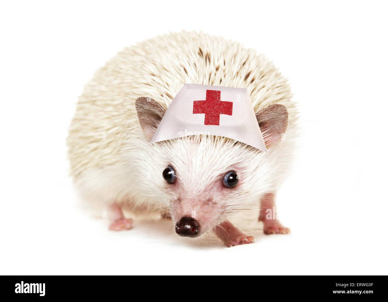Pygmy hedgehog wearing a nurse hat cutout - Stock Image