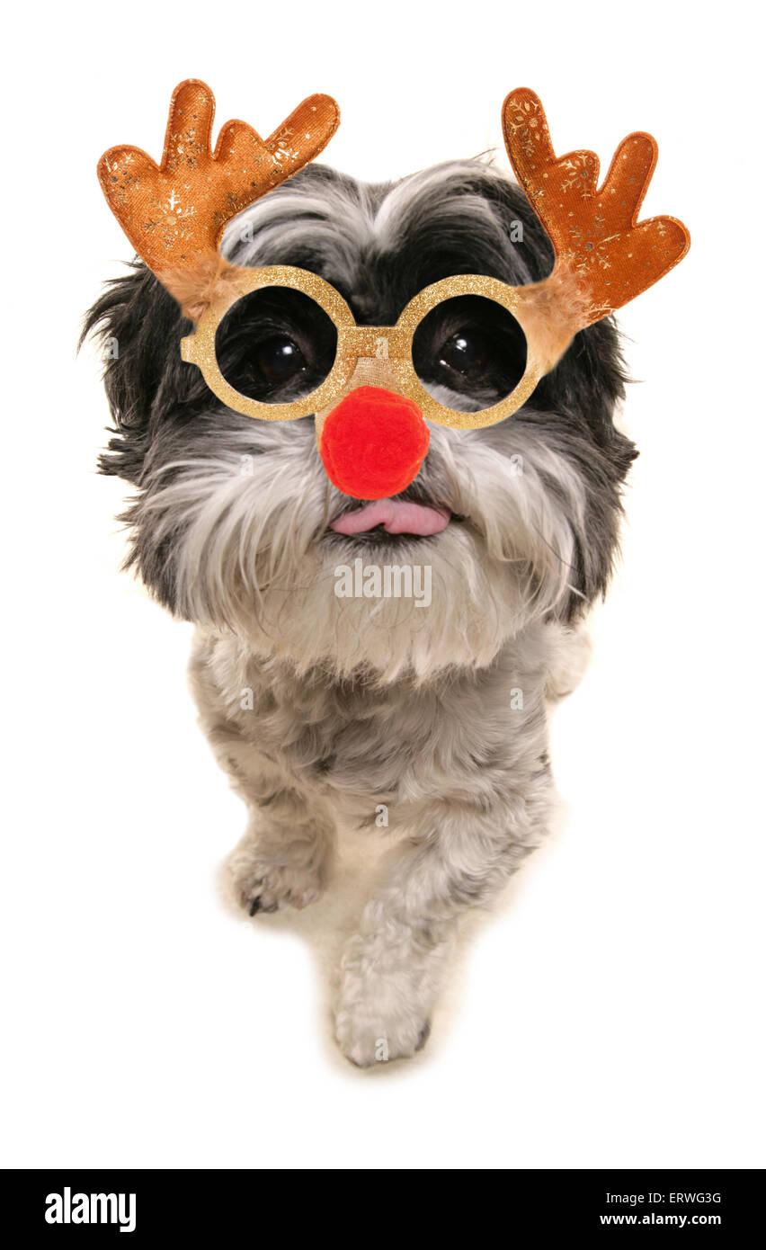 Shih Tzu Christmas Stock Photos & Shih Tzu Christmas Stock Images ...