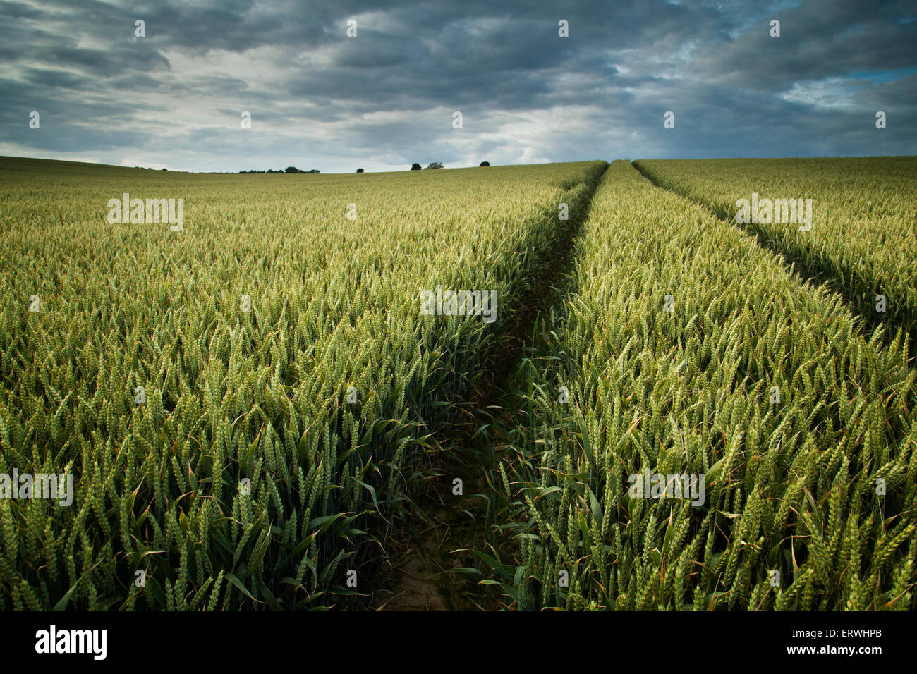 Wheat Field with Tractor Tracks - Stock Image