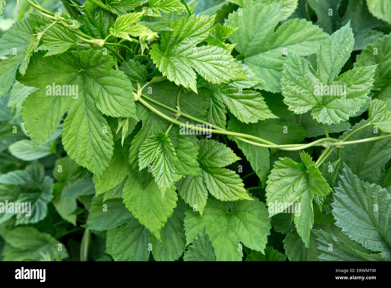 Close-up of hop vine,  new leaves 'Humulus lupulus'. - Stock Image