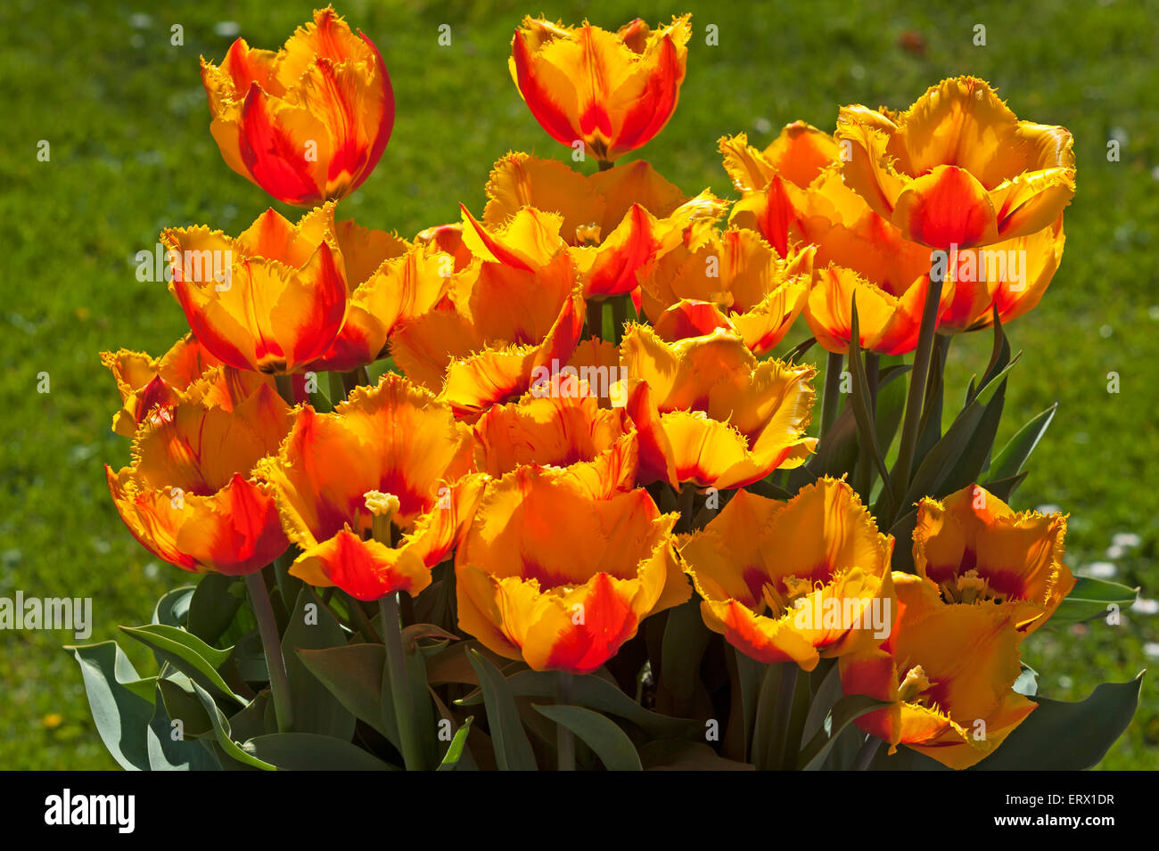 Flowering Crispa Tulips Fringed flair (Tulipa sp.), Baden-Württemberg, Germany - Stock Image
