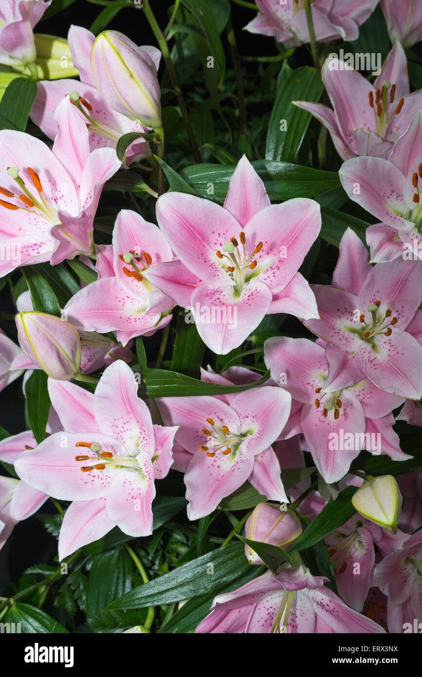 Pink lilies - Stock Image