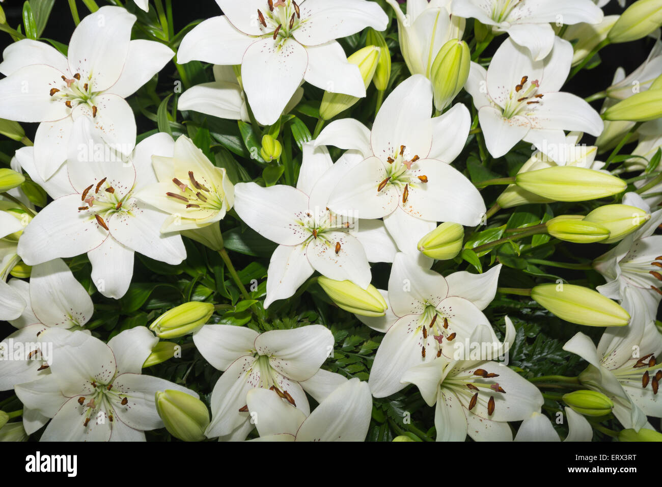 White lilies - Stock Image