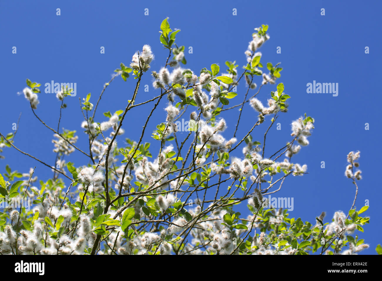Twig of willow full of seed fluff, blue sky in background - Stock Image