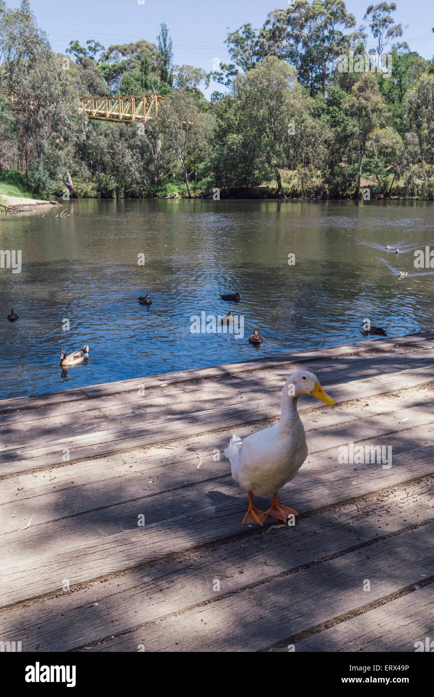 White duck at Fairfield Boathouse, Fairfield, Melbourne, Victoria, Australia - Stock Image
