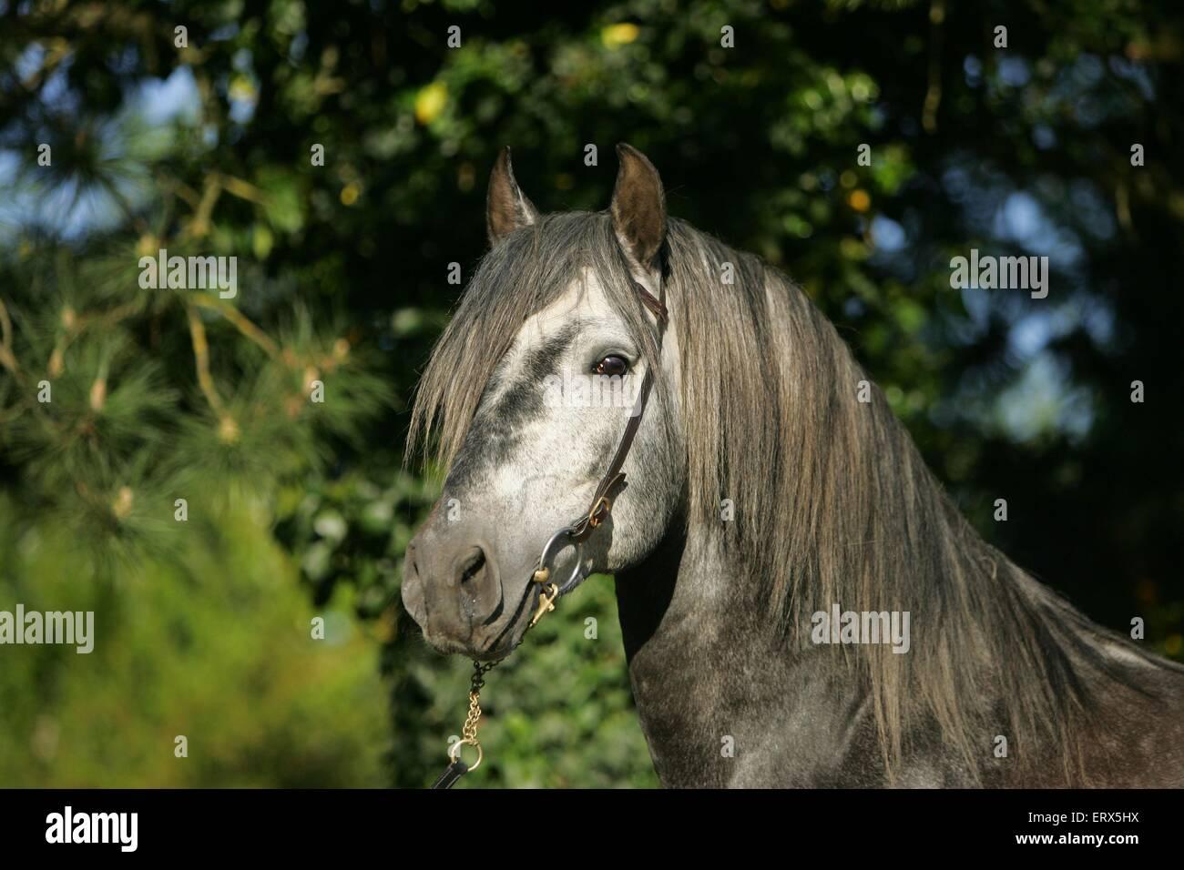 Pura Raza Espanola stallion - Stock Image