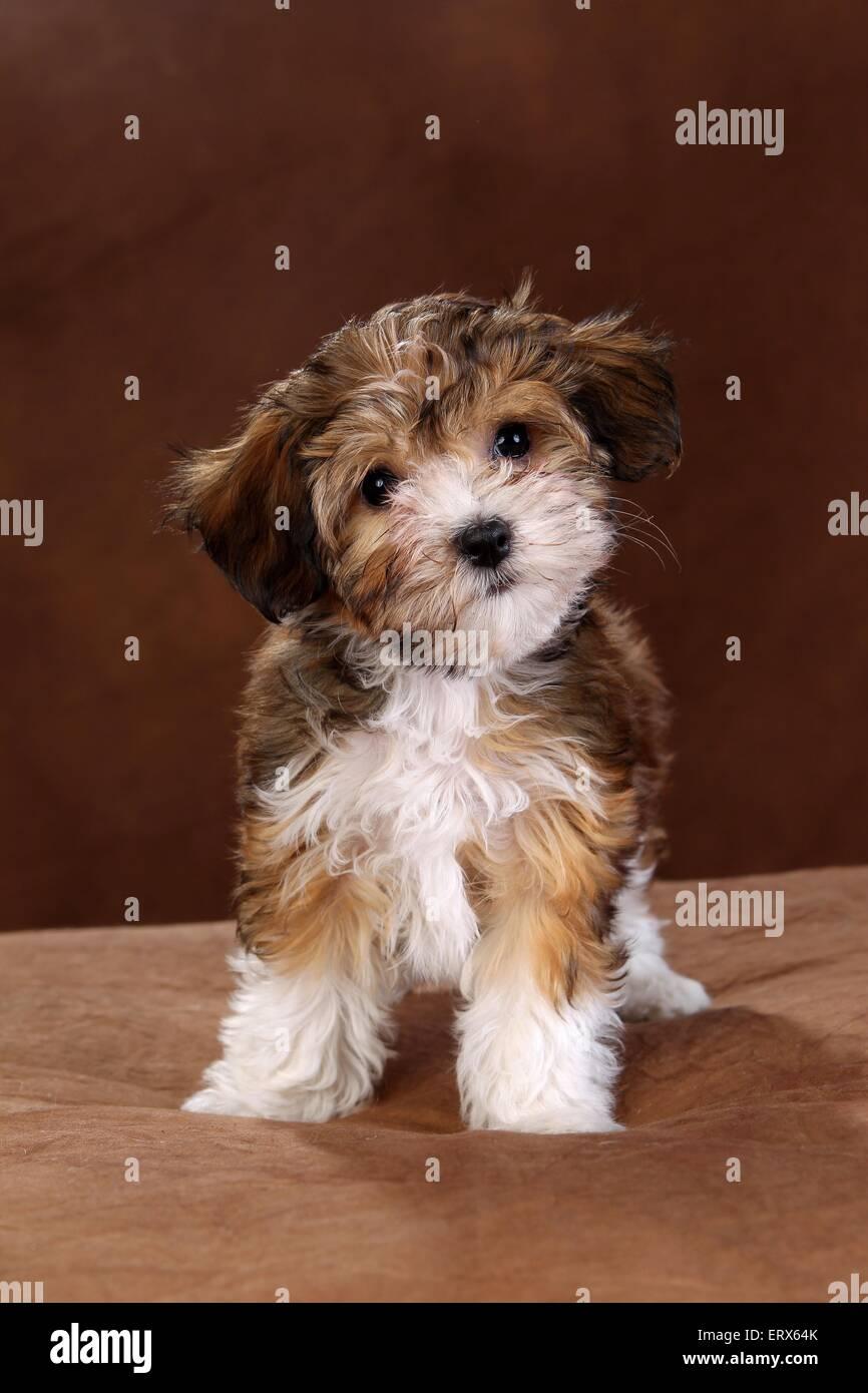 Havanese Puppy Stock Photo Alamy