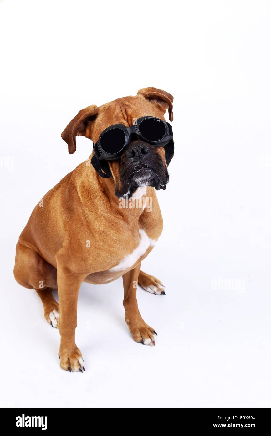 German Boxer with shades Stock Photo