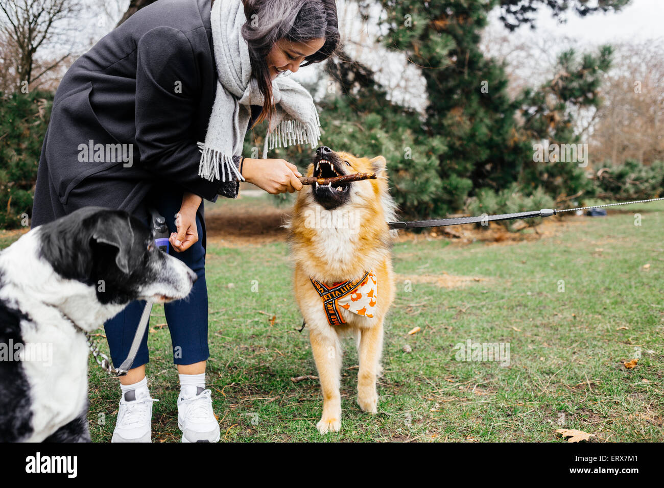 Happy woman playing with Eurasier and mixed-breed dog at park - Stock Image