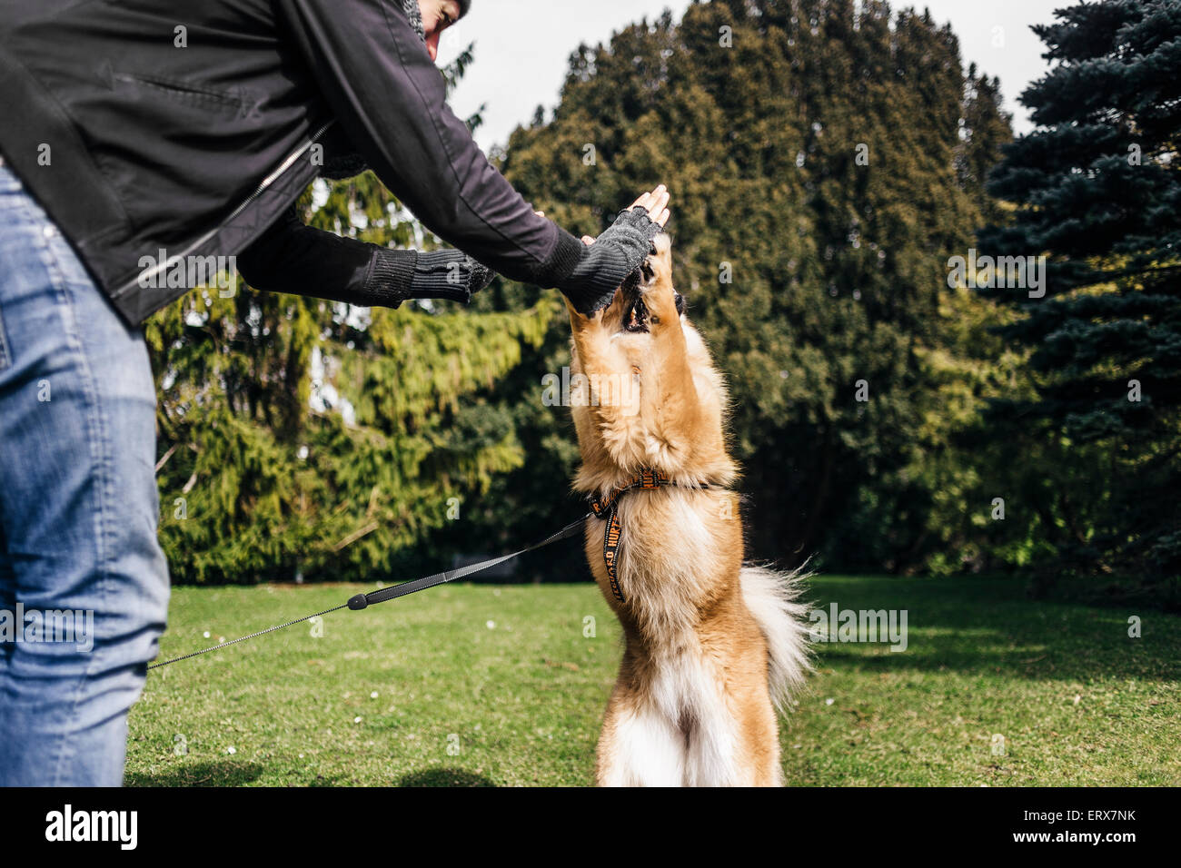 Young man giving high five to Eurasier at park - Stock Image
