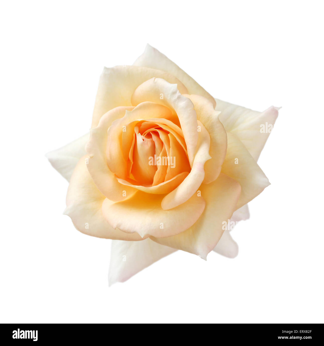 rose fujisan forever isolated on white background, apricot color Stock Photo