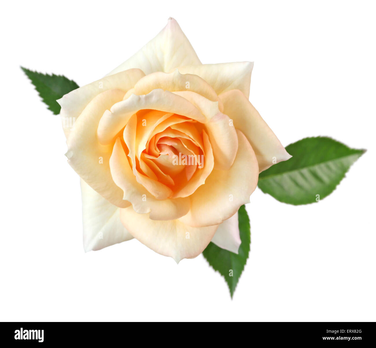rose fujisan forever isolated on white background, apricot color - Stock Image