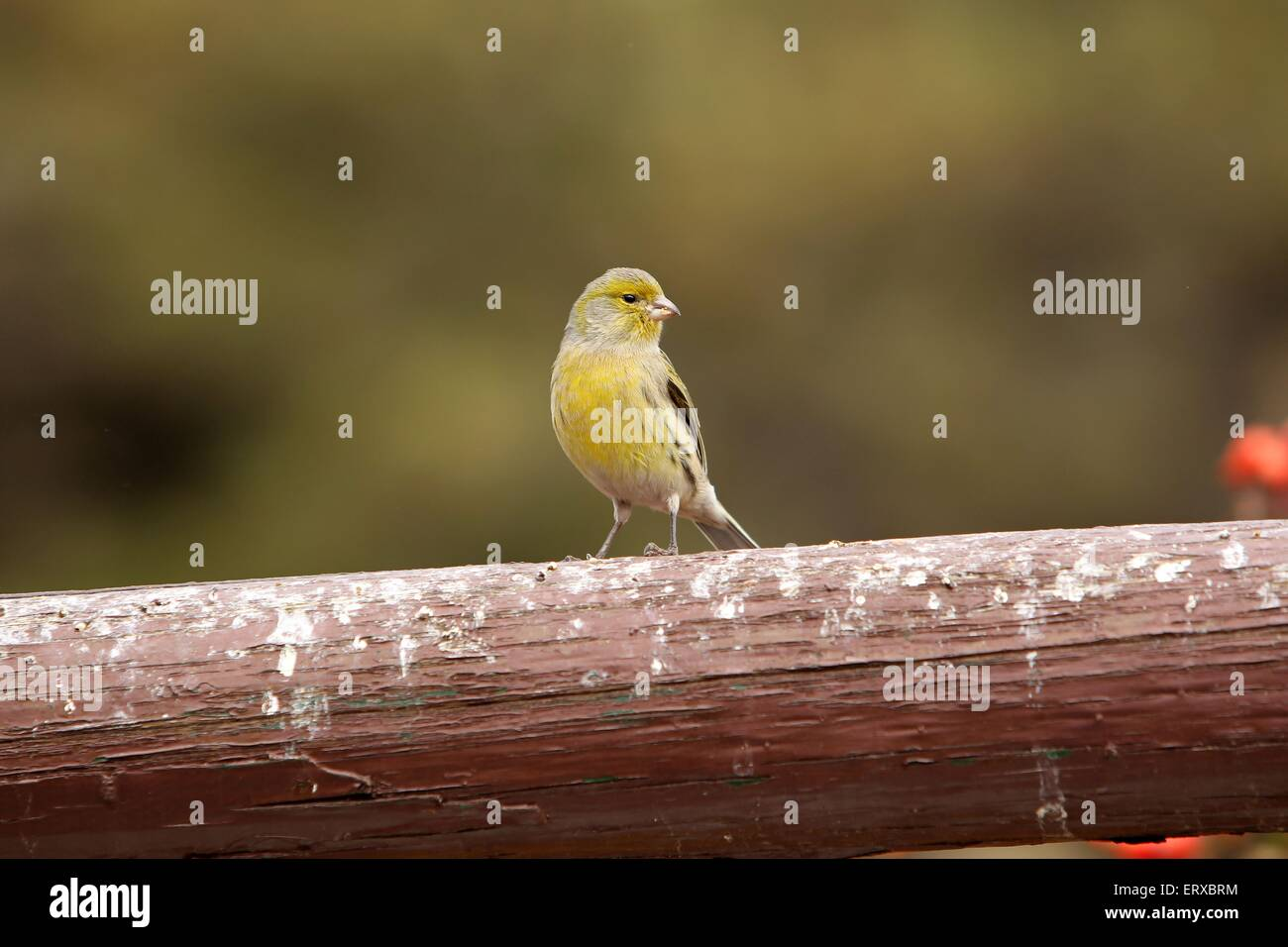 common canary - Stock Image