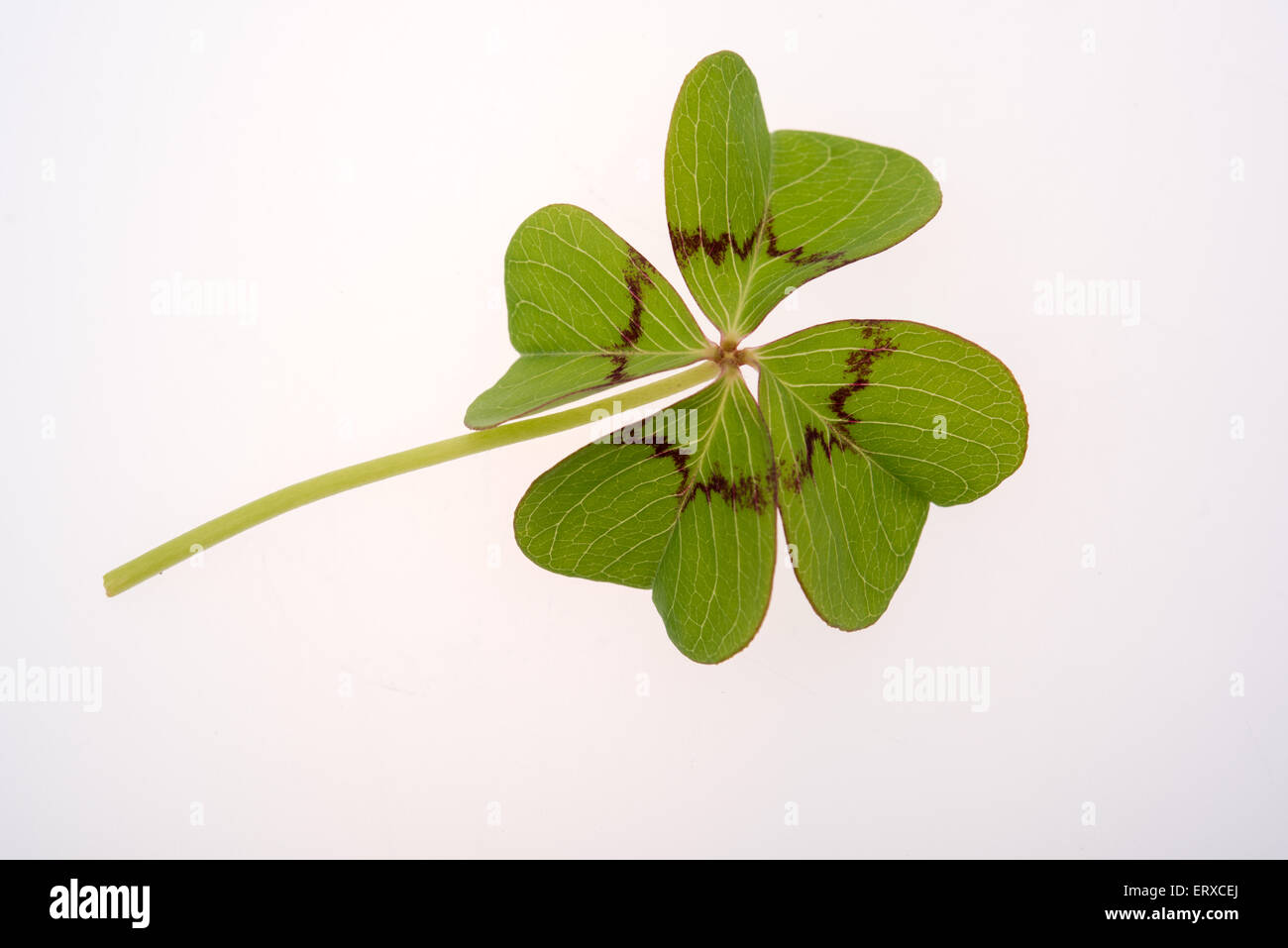Four leaf clover on a white background Stock Photo
