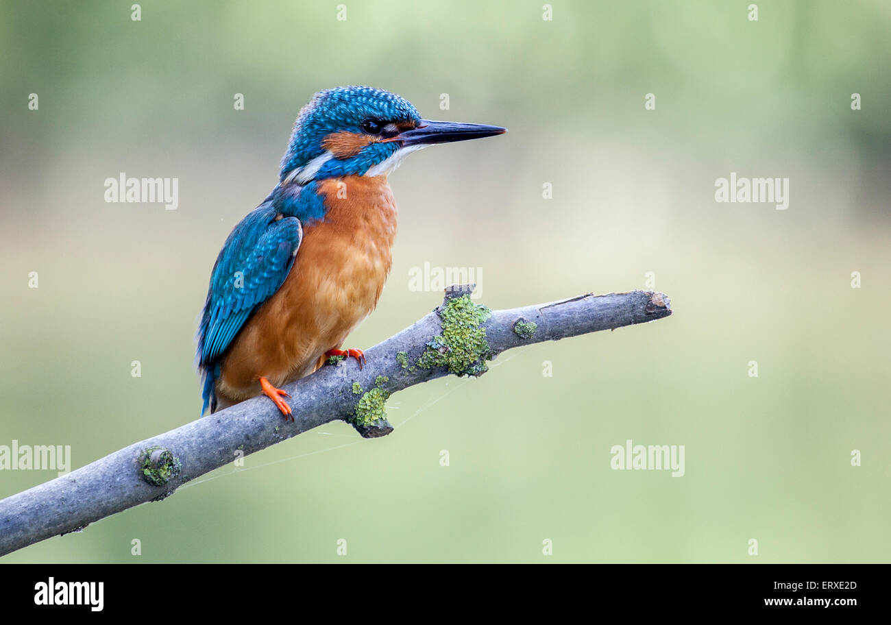 Kingfisher on a twig - Stock Image