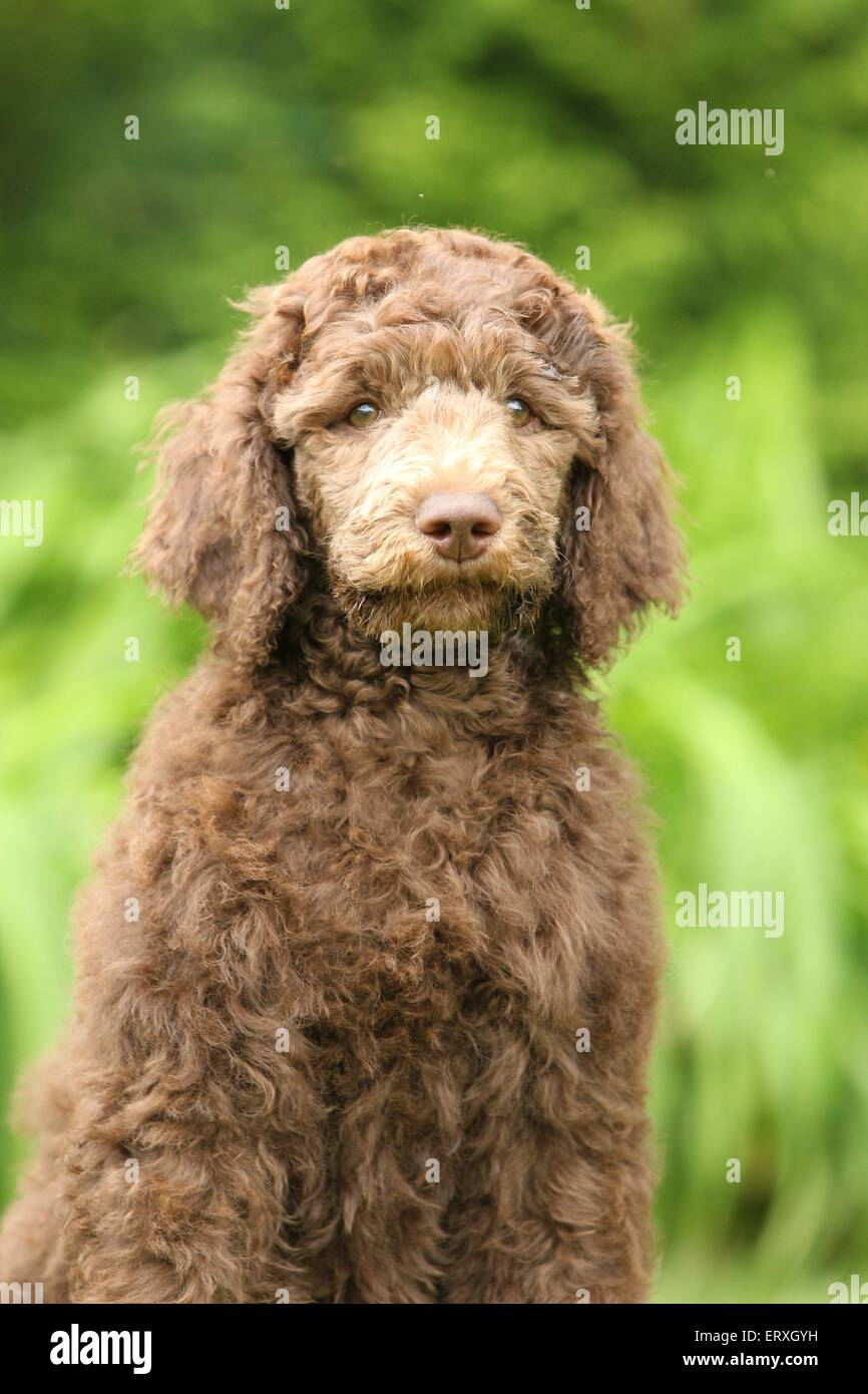 Poodle puppy - Stock Image